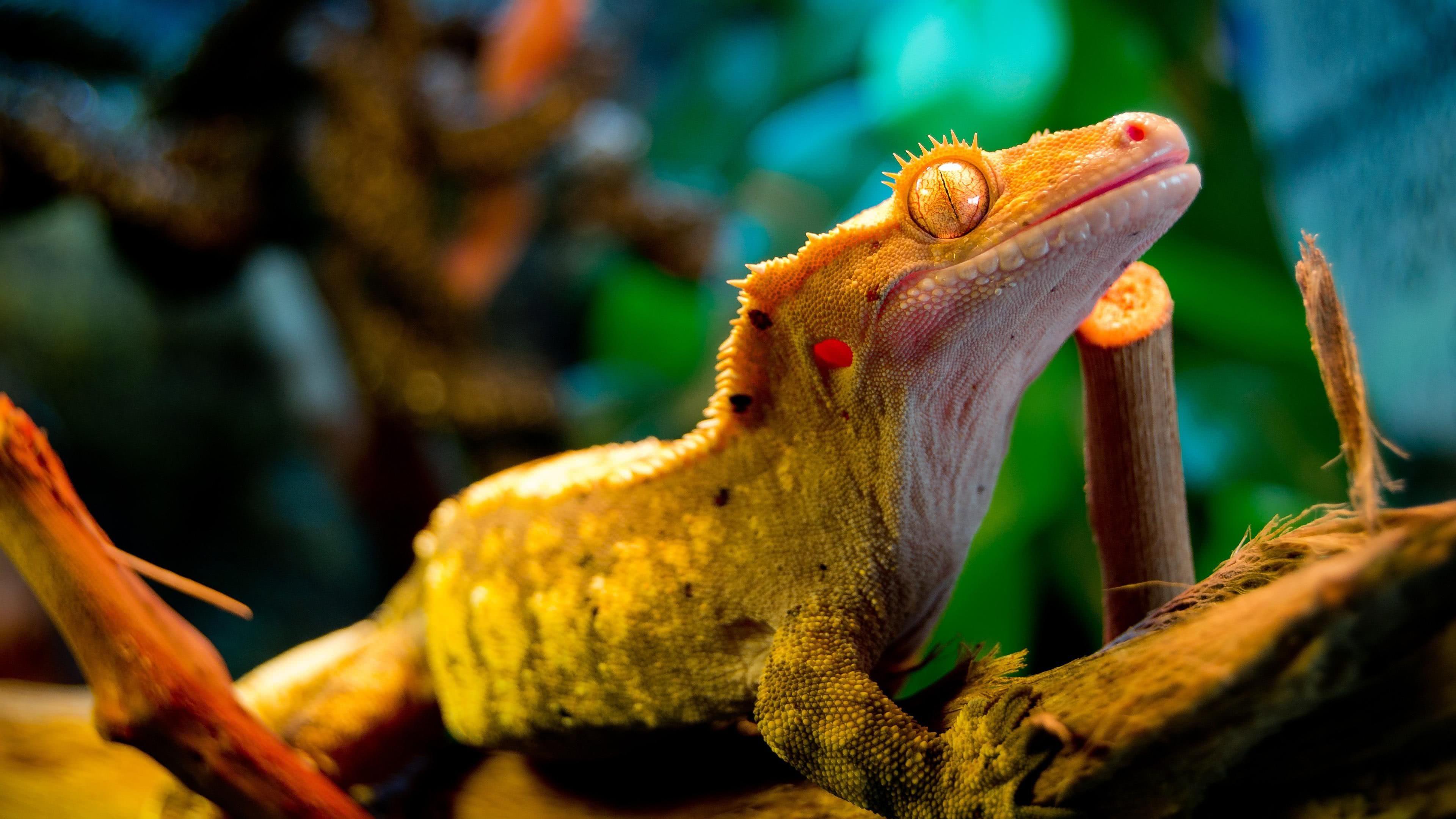 gecko 4k wallpaper