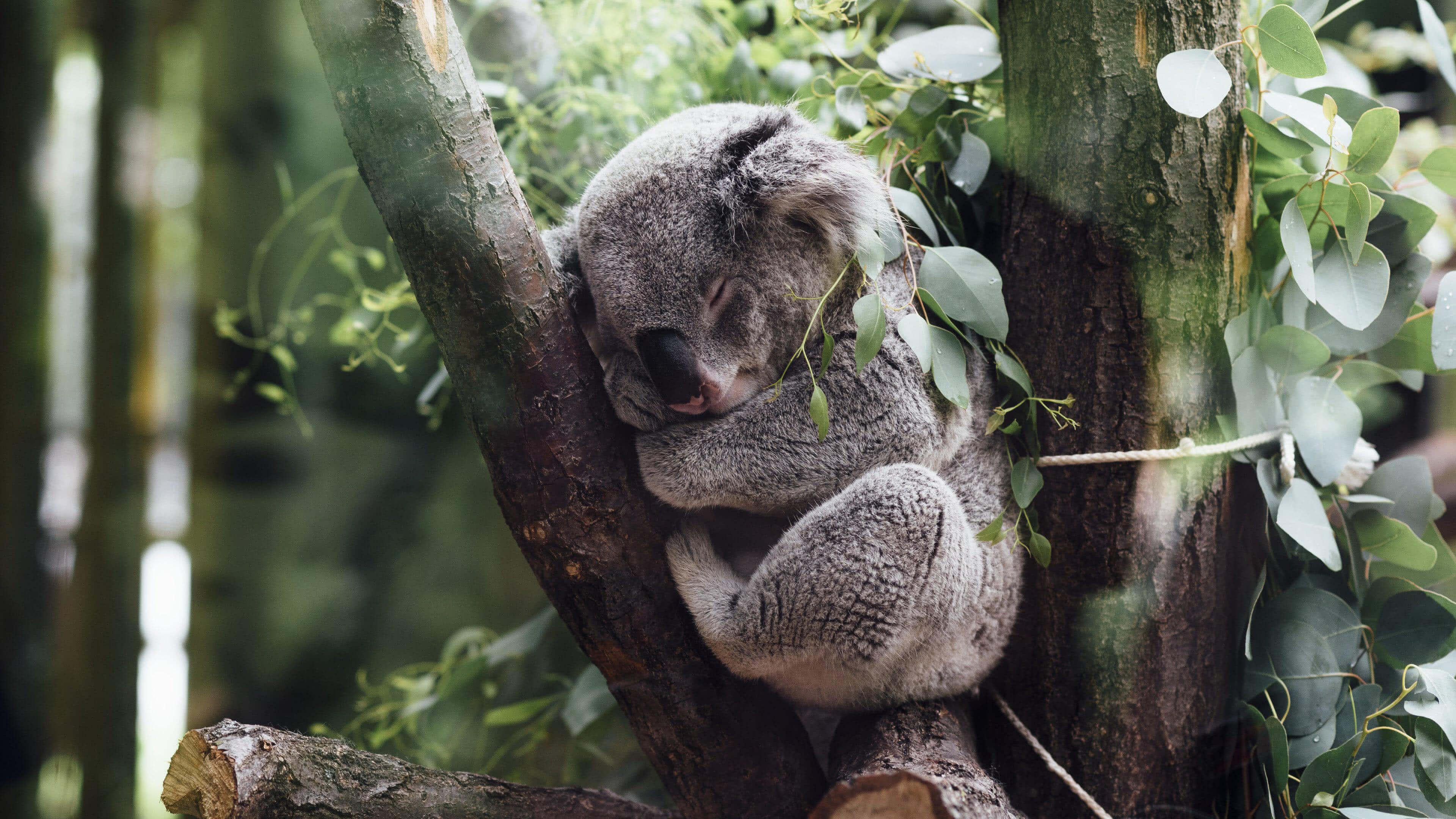 koala sleeping in a tree 4k wallpaper