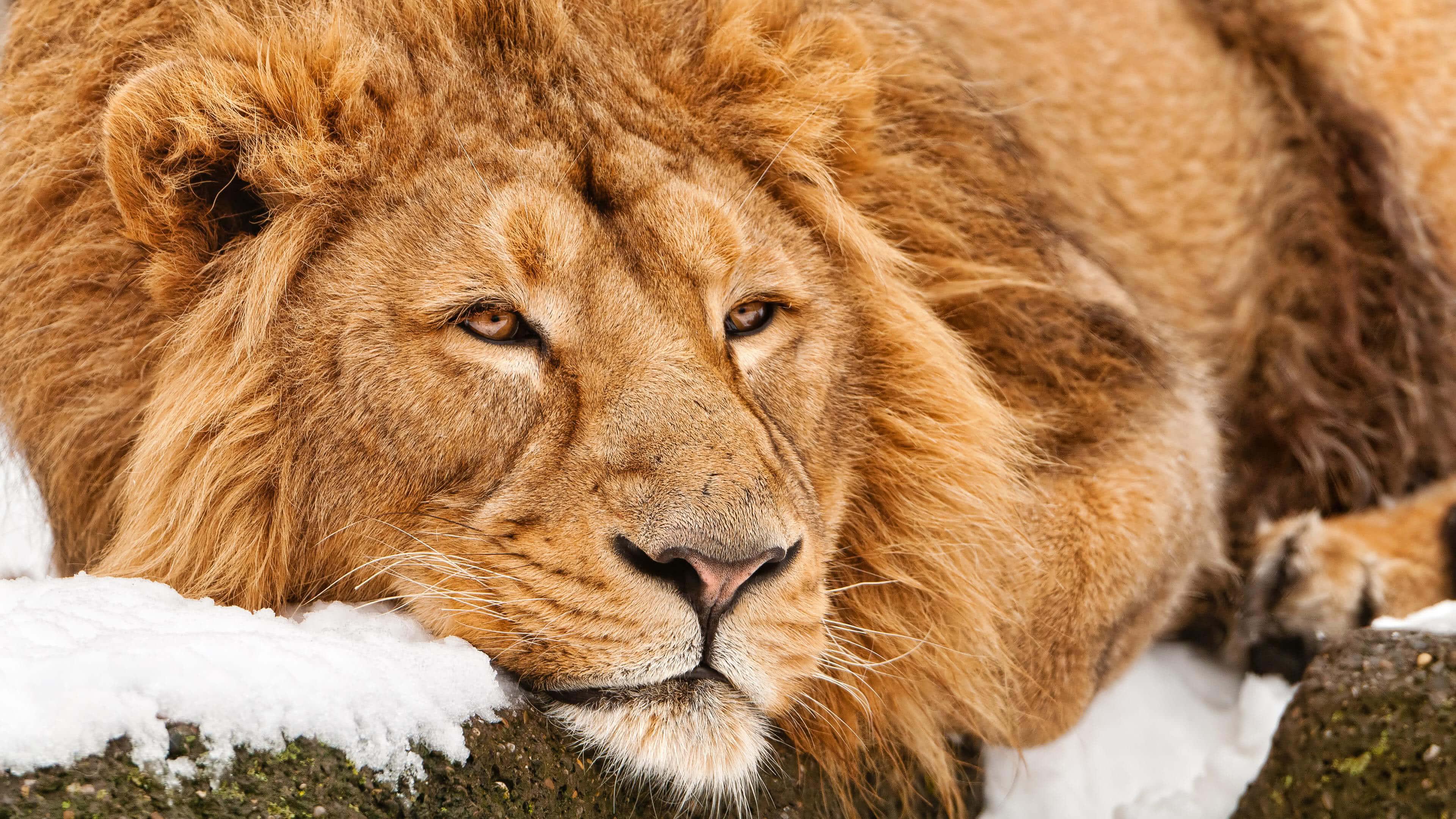 lazy lion 4k wallpaper