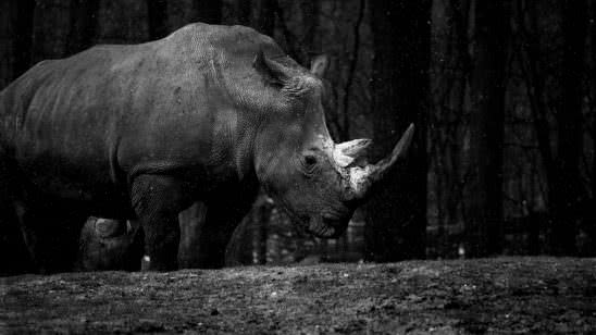 rhino royal burgers zoo arnhem netherlands 4k wallpaper