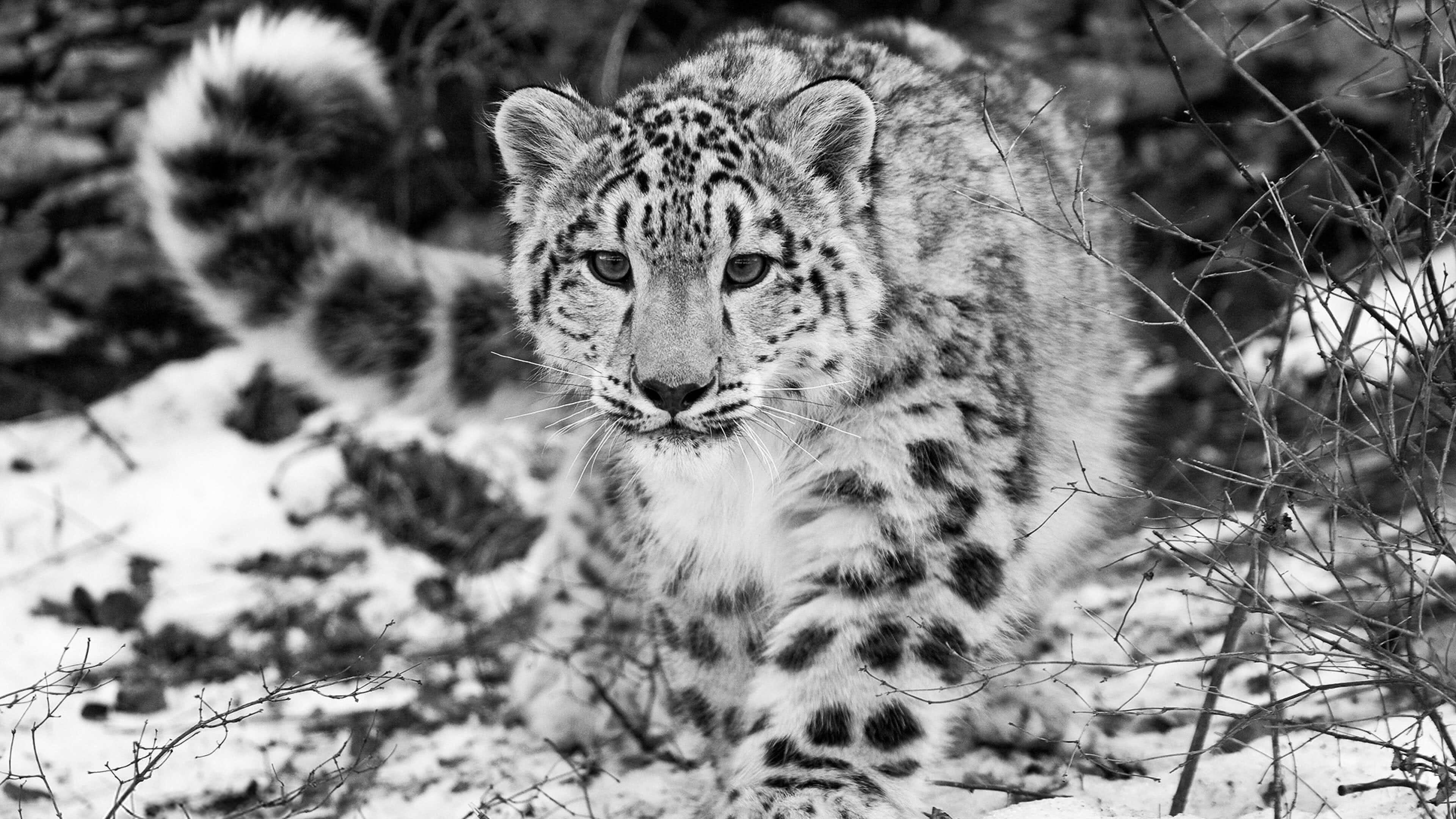 snow leopard 4k wallpaper