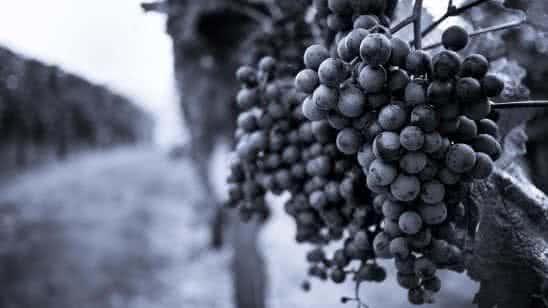 grapes on grapevine in vinyard black and white uhd 4k wallpaper