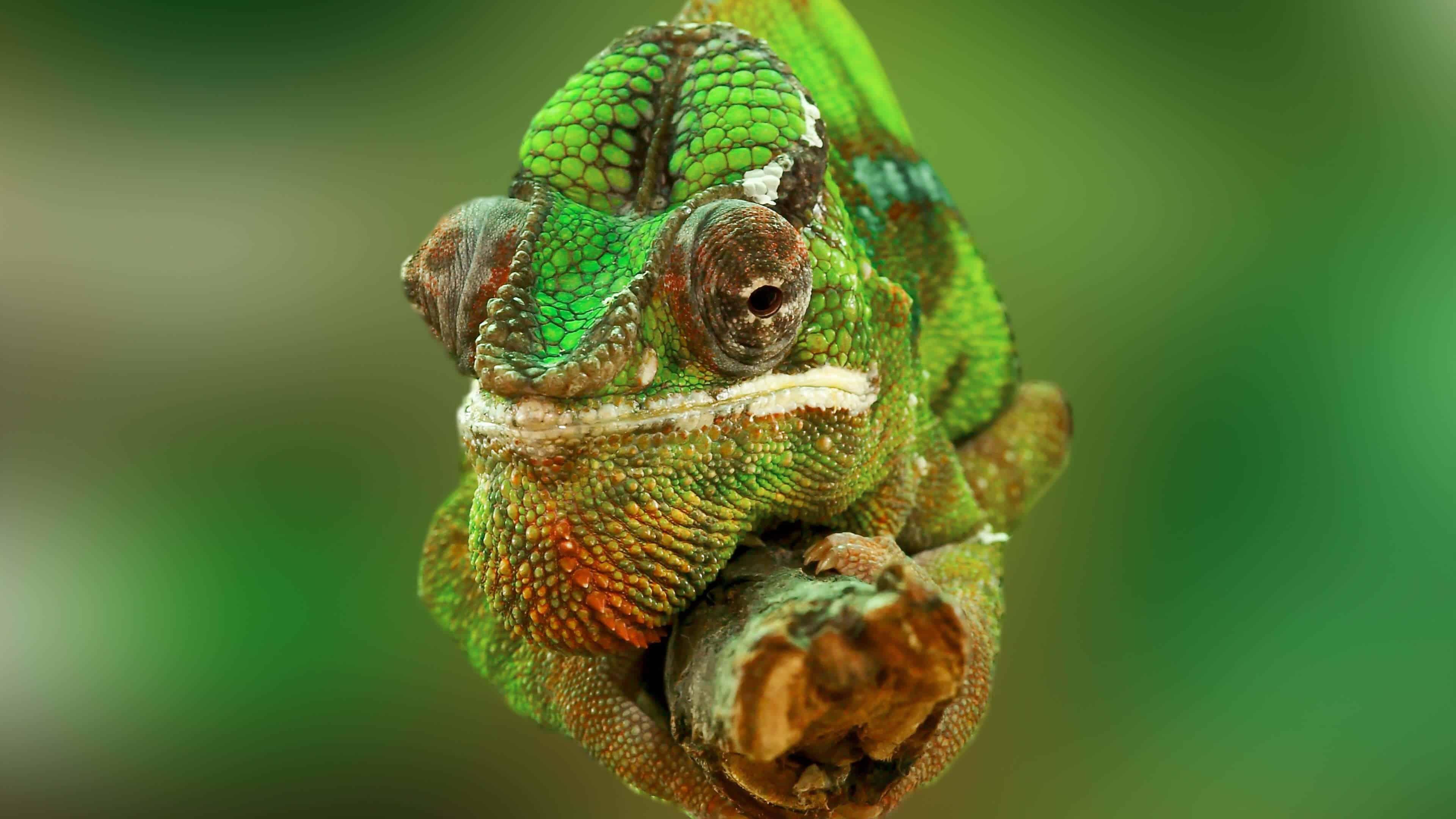 green chameleon on a branch uhd 4k wallpaper