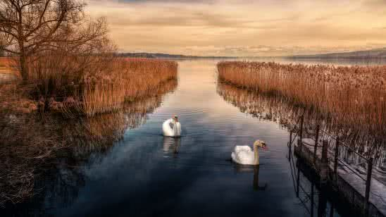 white swans and lake reeds with snowtop mountains uhd 8k wallpaper