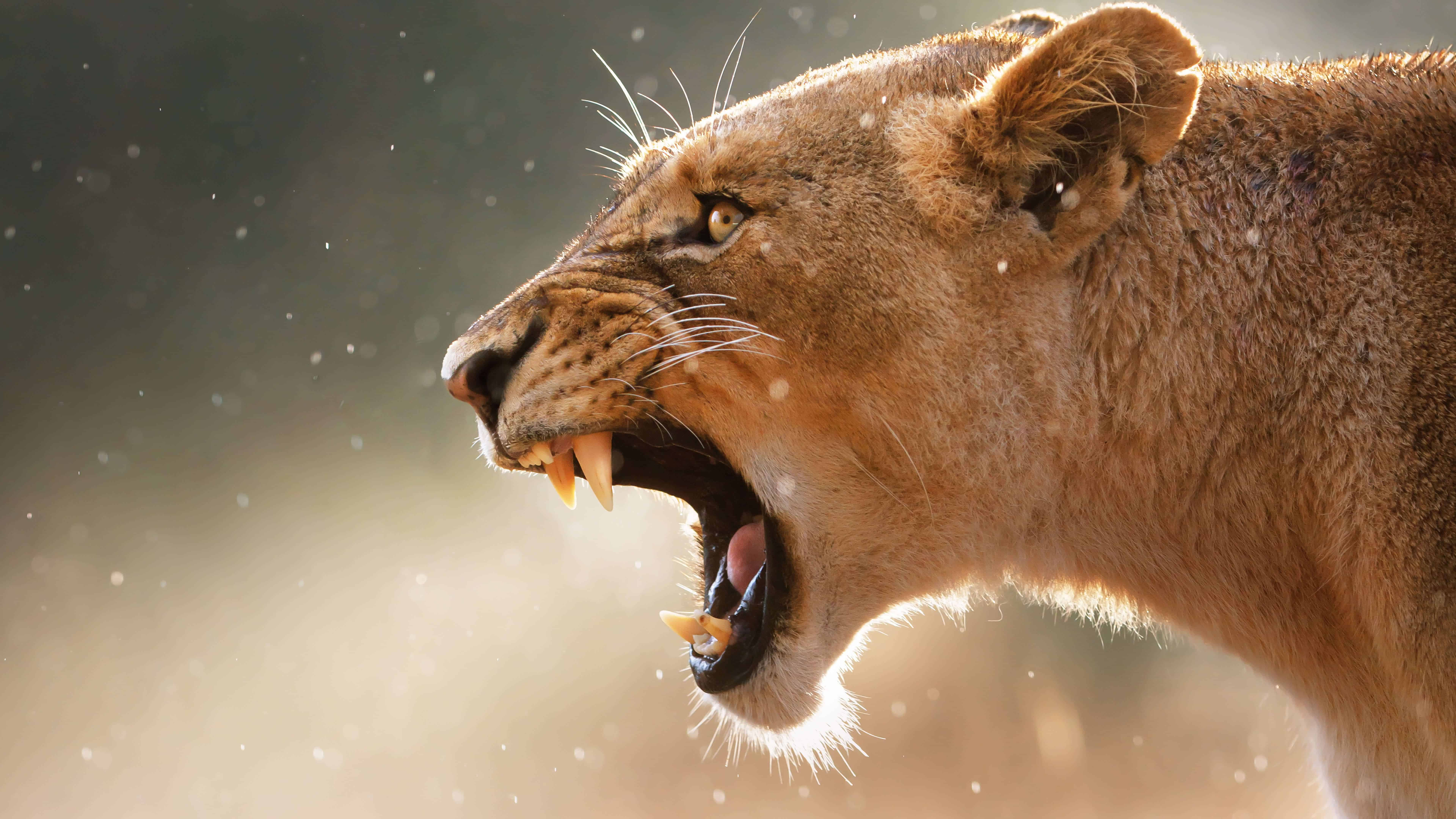 Angry Female Lion Uhd 8k Wallpaper Pixelz
