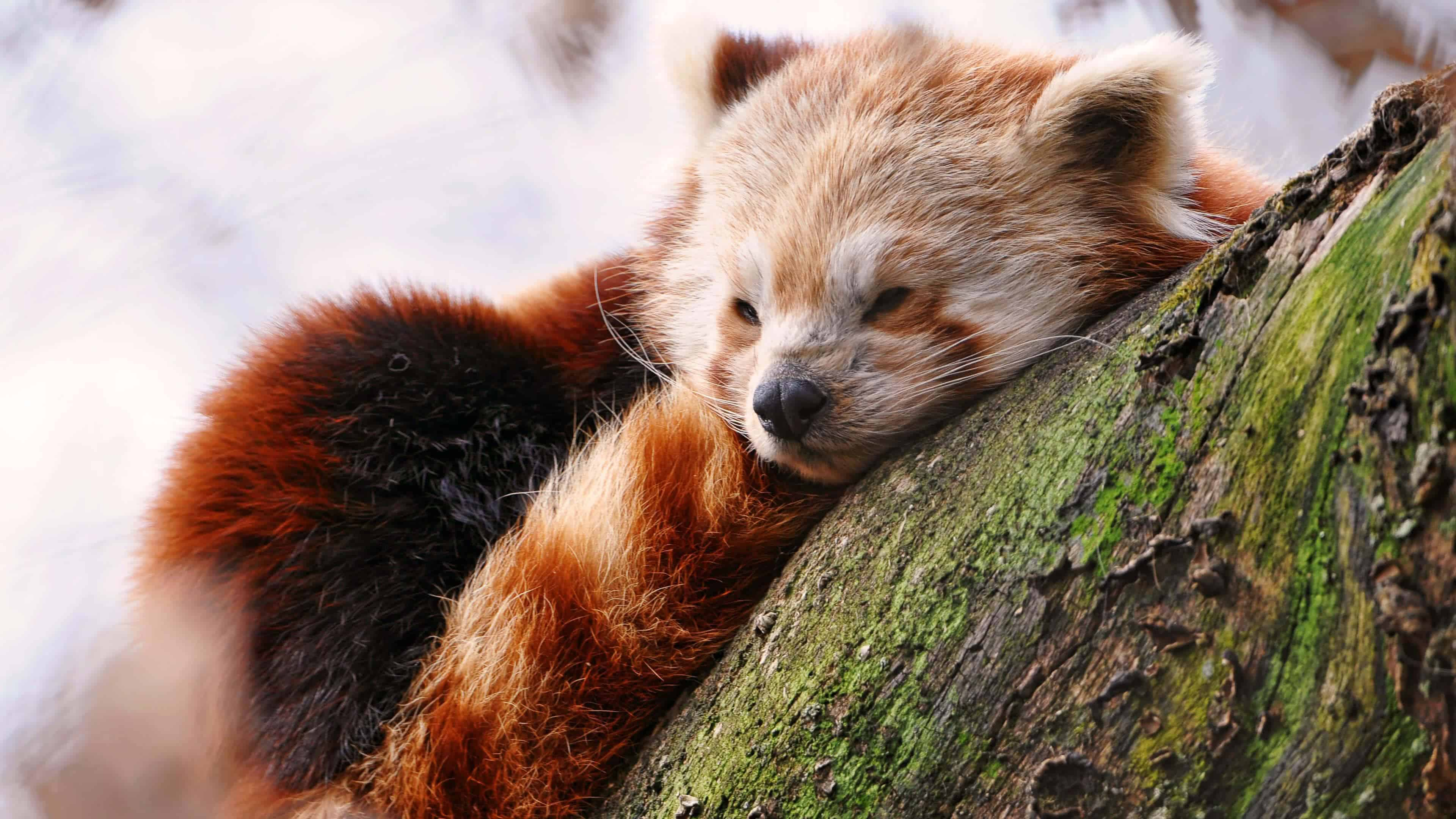 baby red panda uhd 4k wallpaper