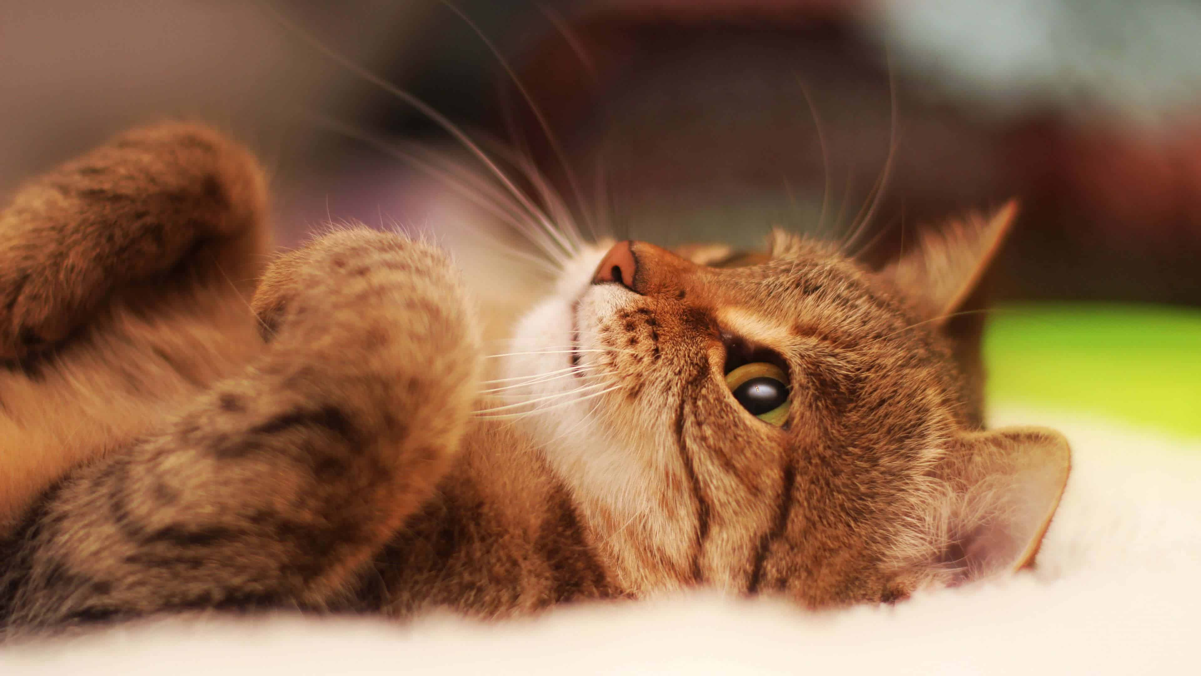 cat lying on its back uhd 4k wallpaper