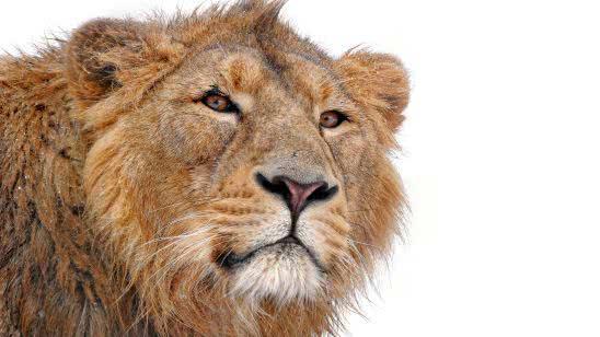 lion face white background uhd 4k wallpaper