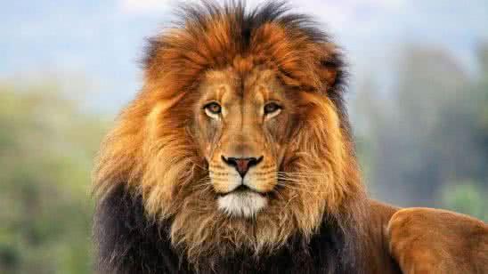 male lion big cat sanctuary uhd 4k wallpaper