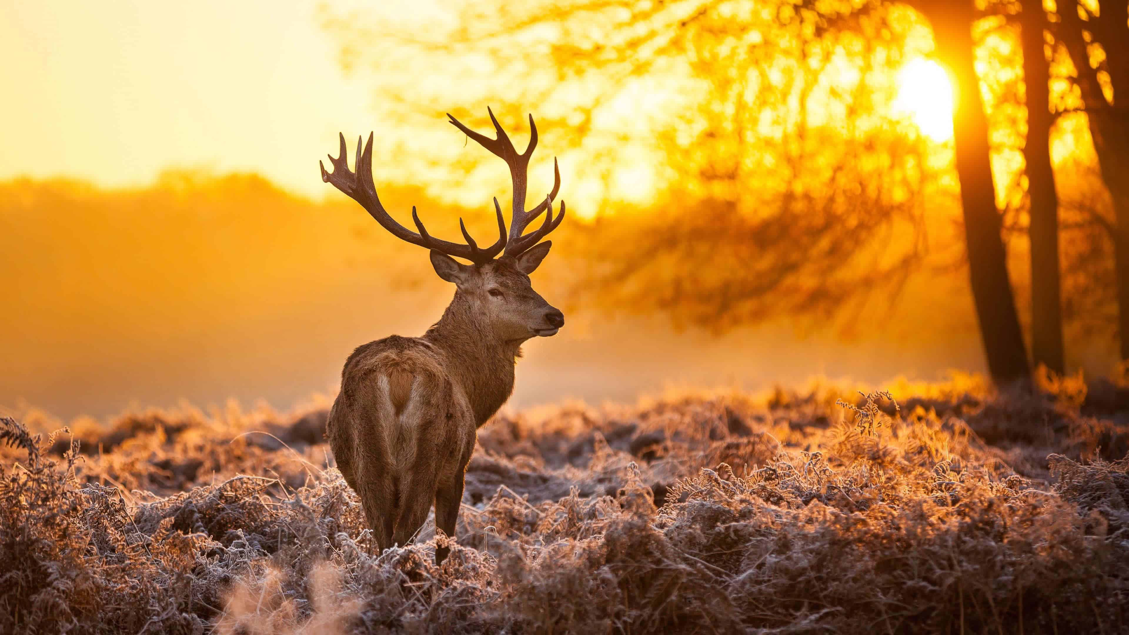 reindeer at sunset uhd 4k wallpaper