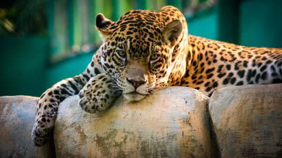 resting leopard uhd 4k wallpaper