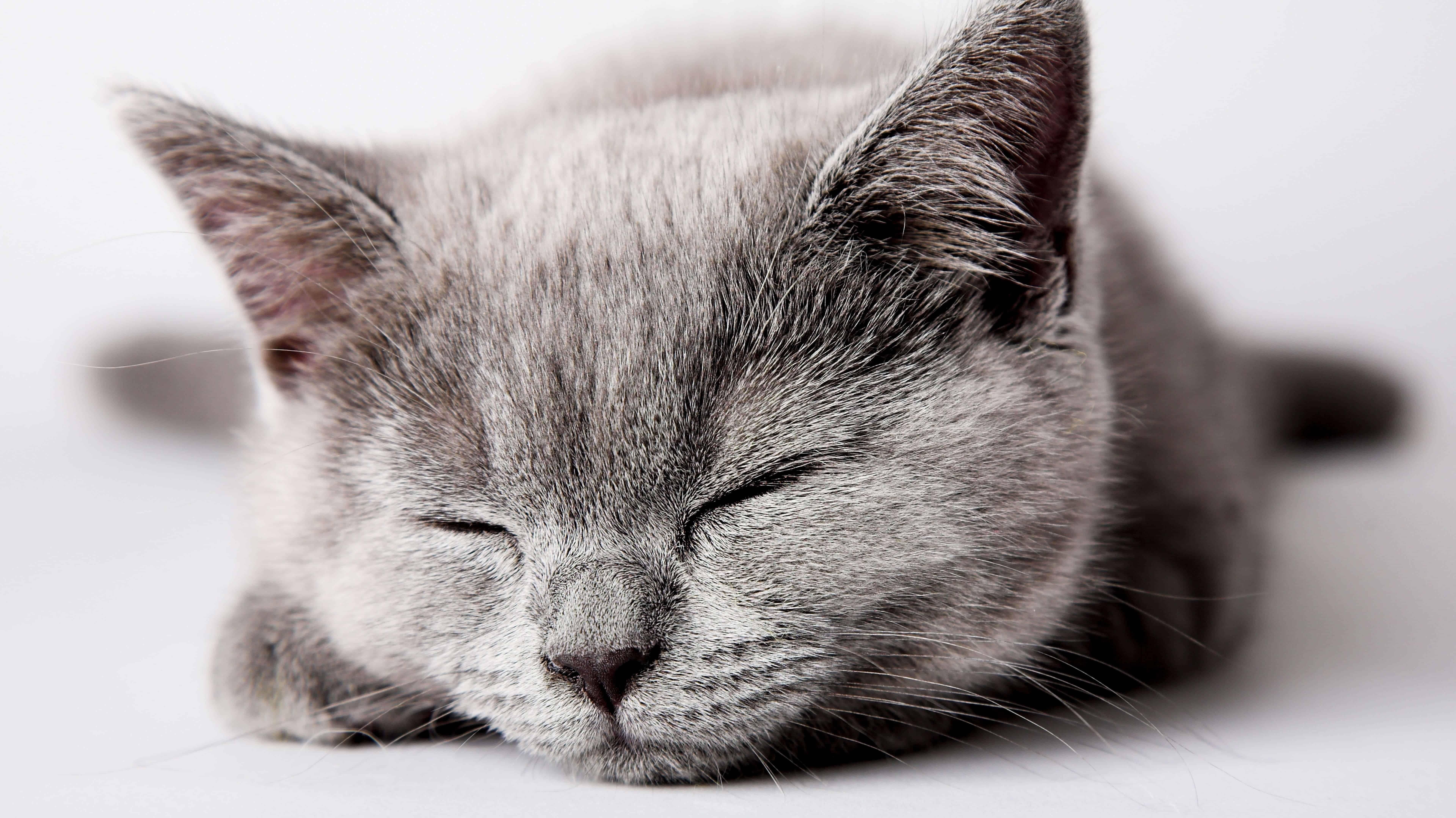 sleeping grey kitten uhd 8k wallpaper