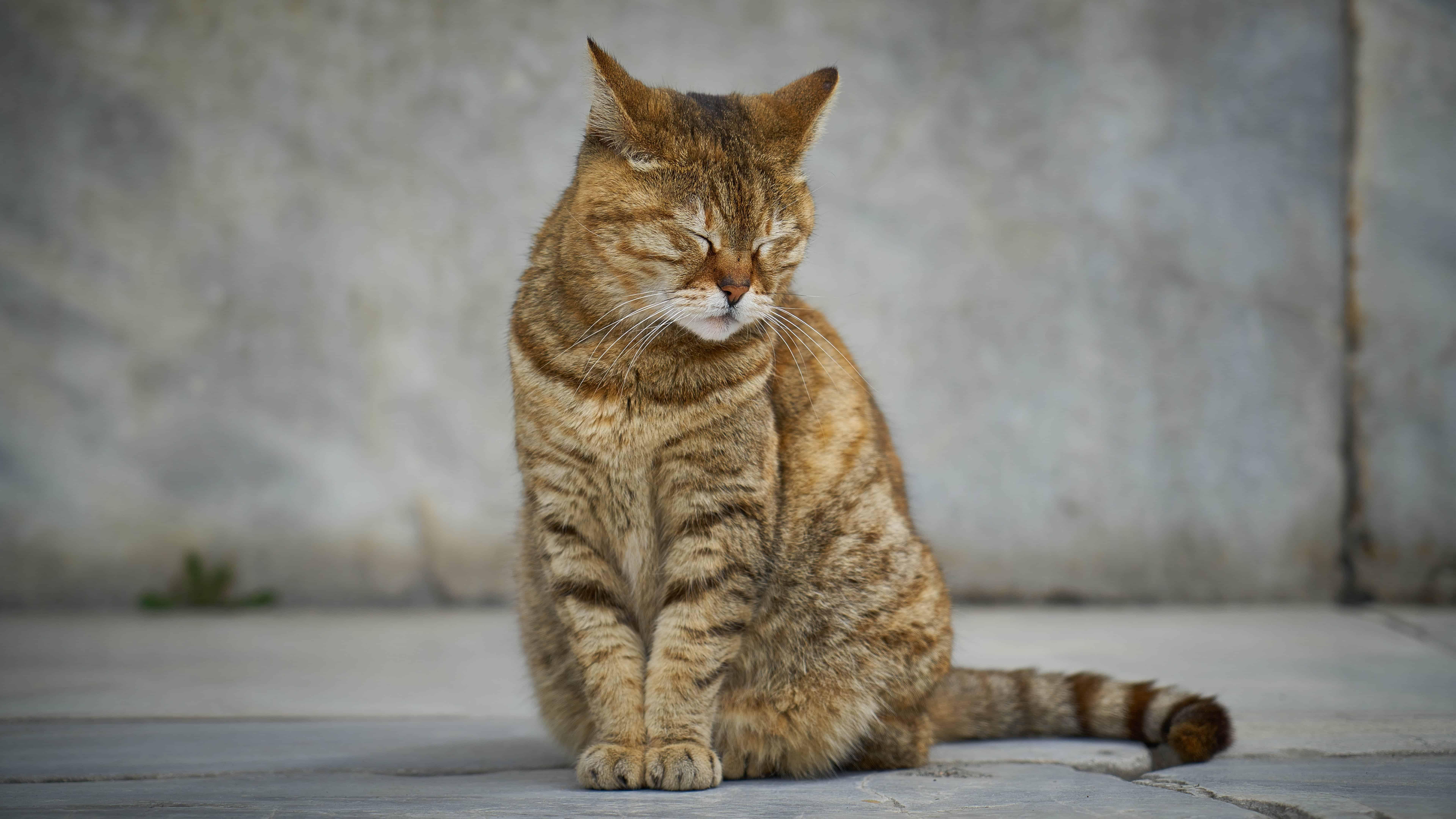 tabby cat uhd 8k wallpaper