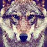 timber wolf uhd 4k wallpaper