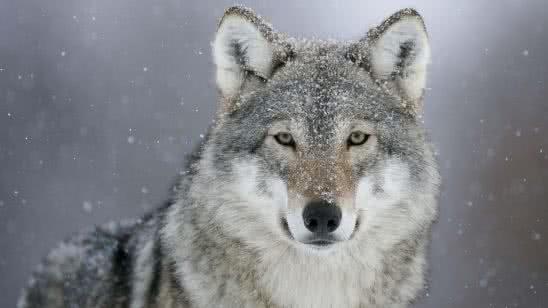 winter wolf uhd 4k wallpaper