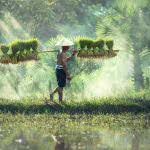 cambodian rice farmer uhd 4k wallpaper