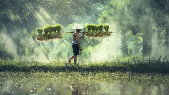 Cambodian Rice Farmer Uhd 4k Wallpaper