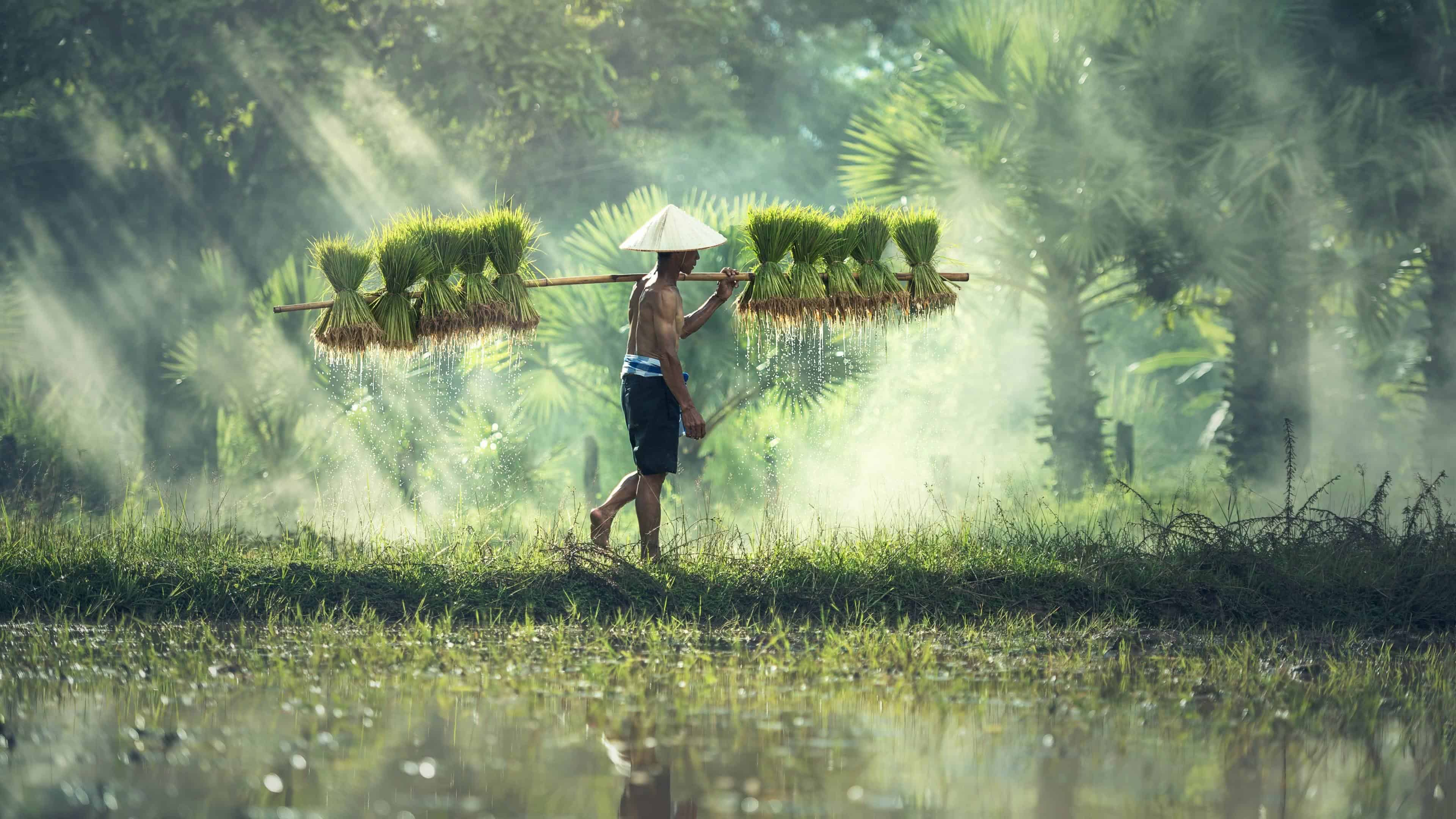 About >> Cambodian Rice Farmer UHD 4K Wallpaper | Pixelz