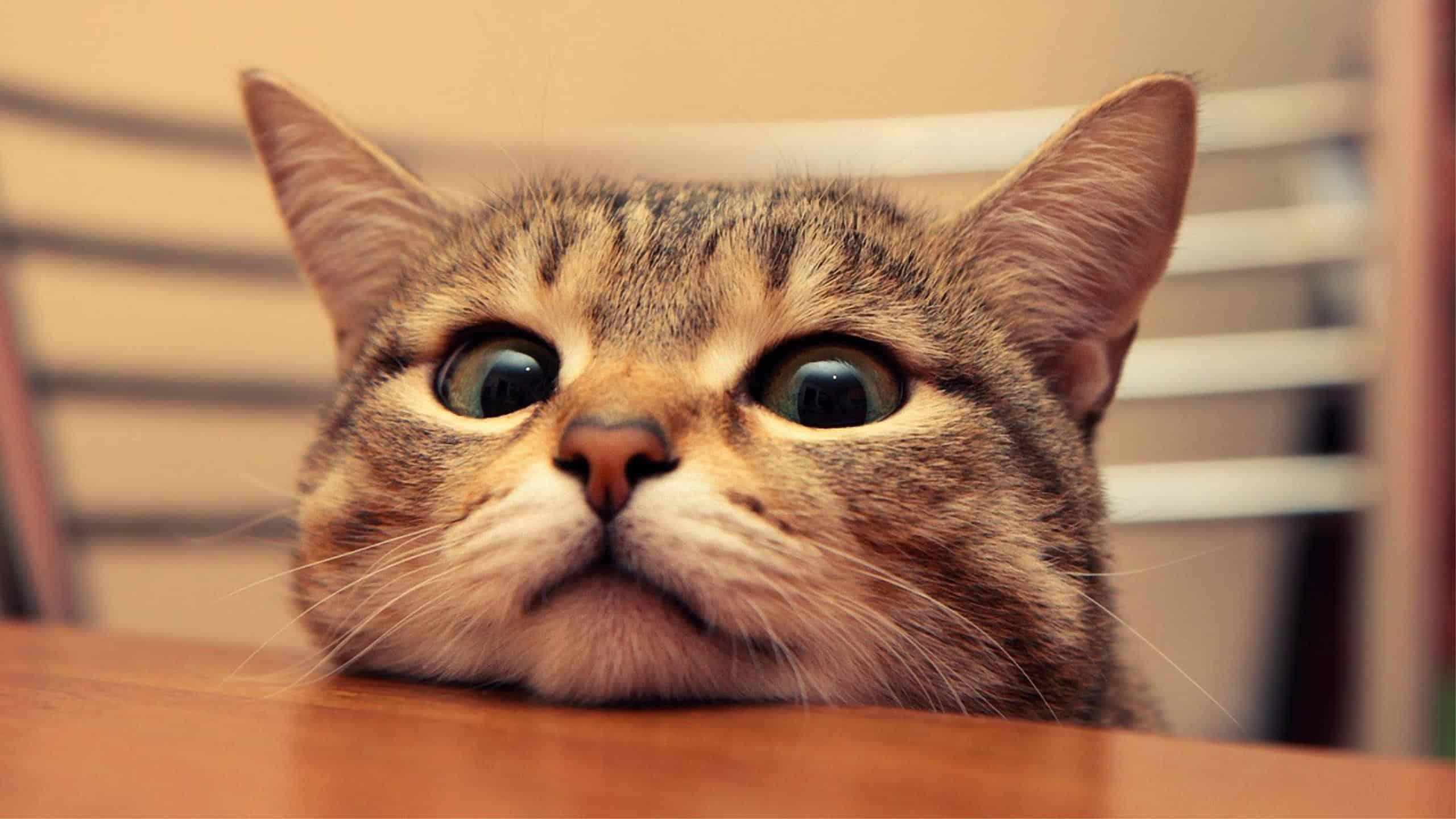 peeking cat wqhd 1440p wallpaper