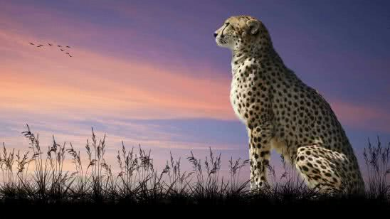 wild cheetah sitting wqhd 1440p wallpaper