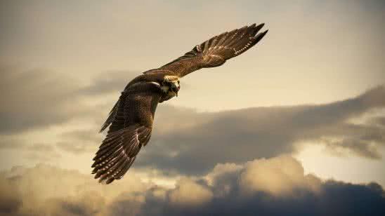 hawk in flight uhd 4k wallpaper