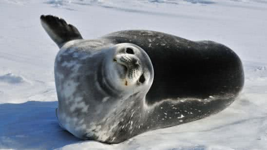 weddell seal antarctica uhd 4k wallpaper