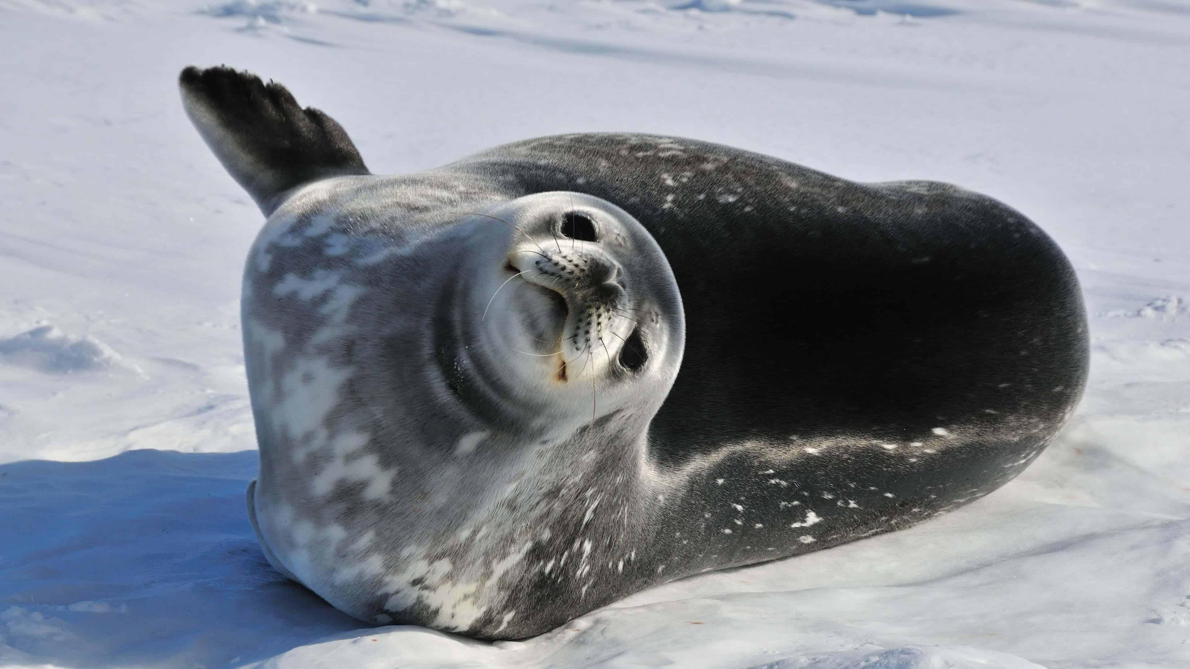 weddell seal antarctica uhd 4k wallpaper
