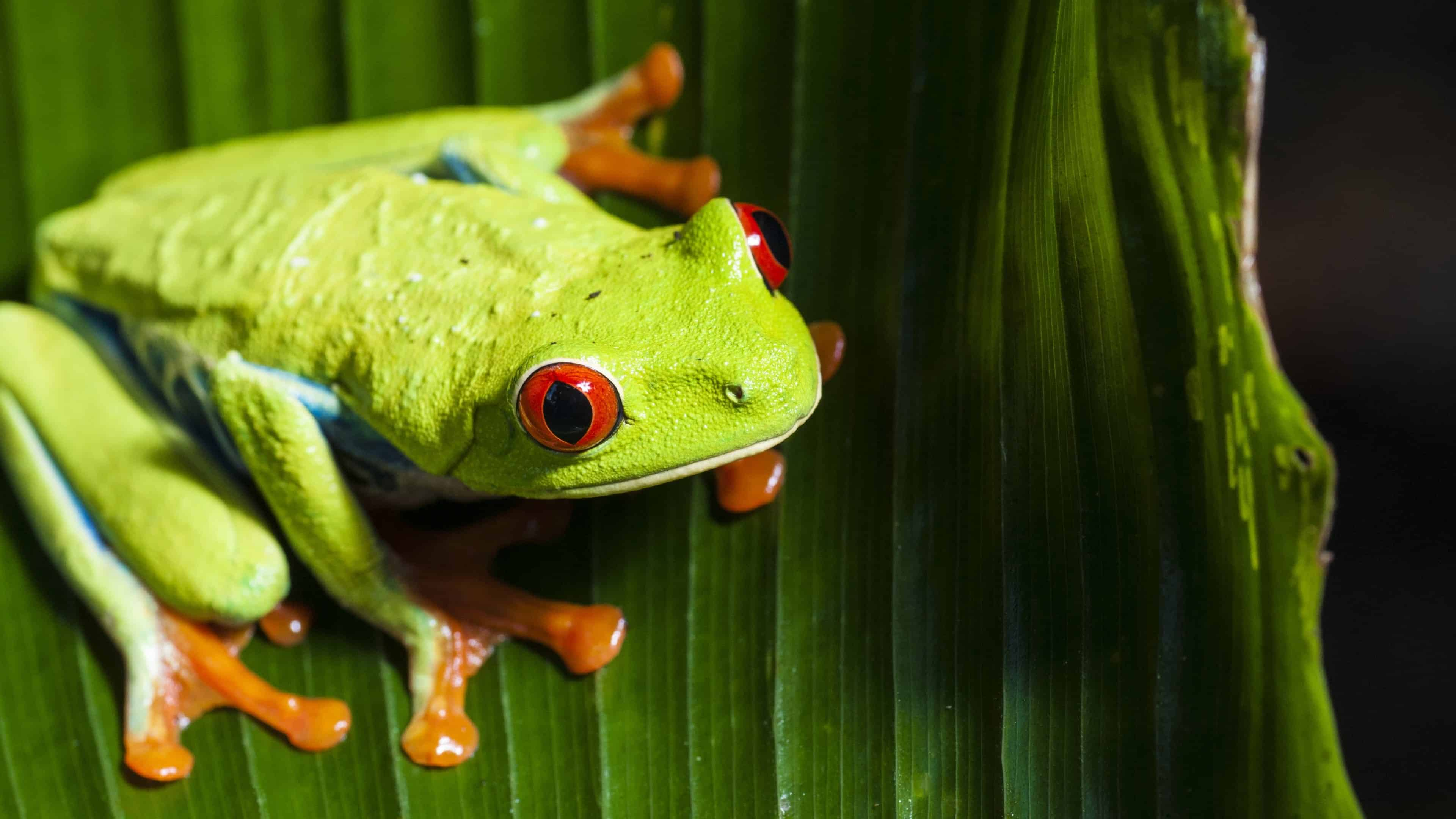 frog uhd 4k wallpaper