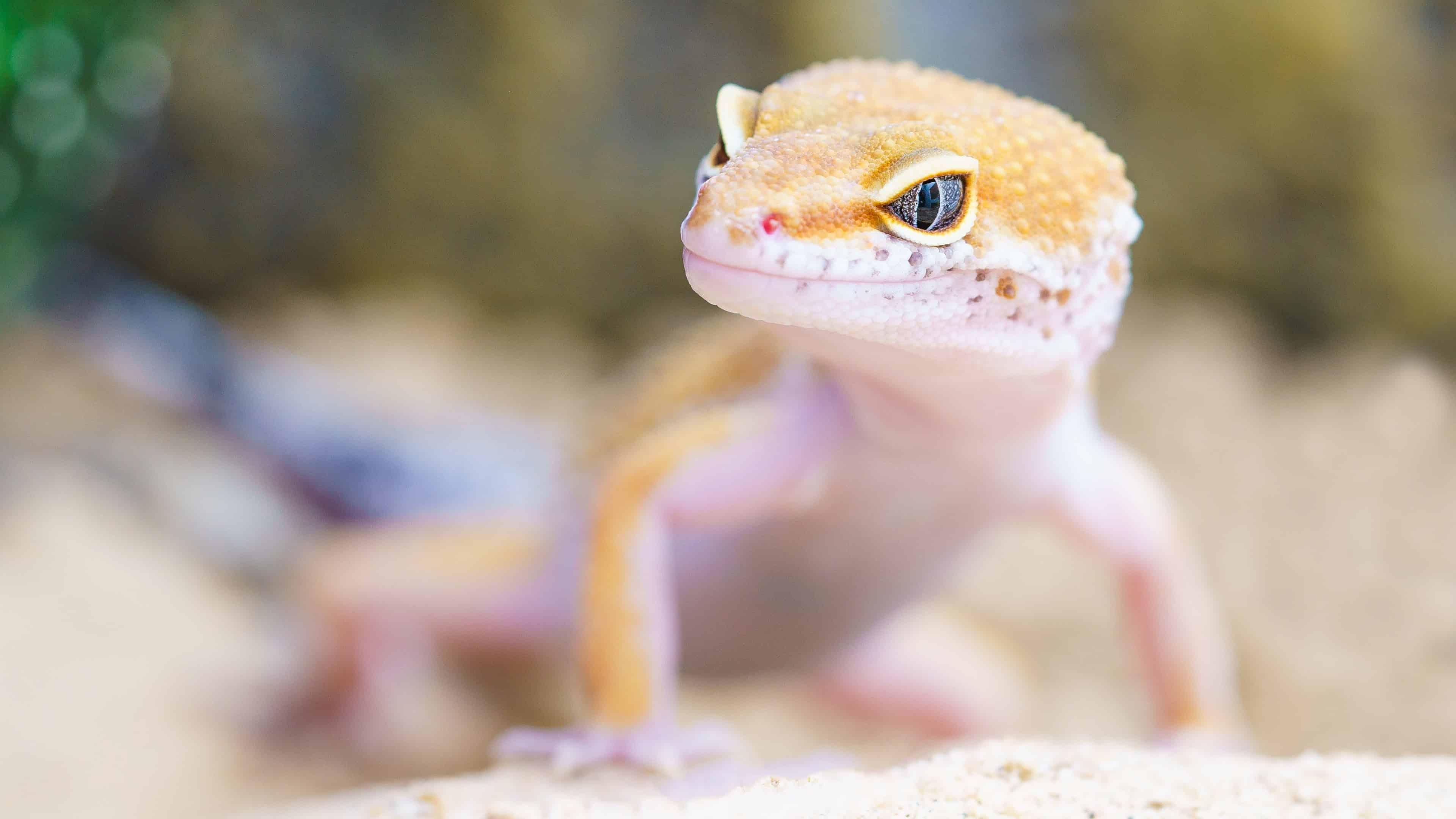gecko lizard uhd 4k wallpaper