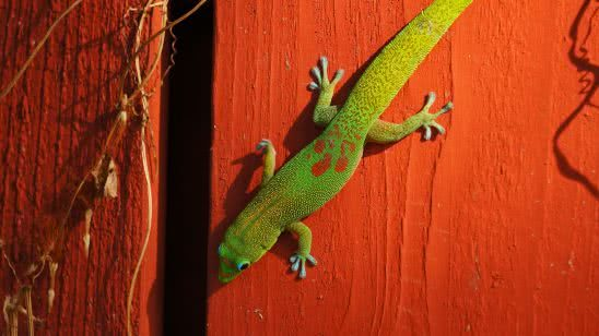 green carolina anole lizard uhd 4k wallpaper