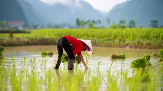 rice farmer vietnam uhd 4k wallpaper
