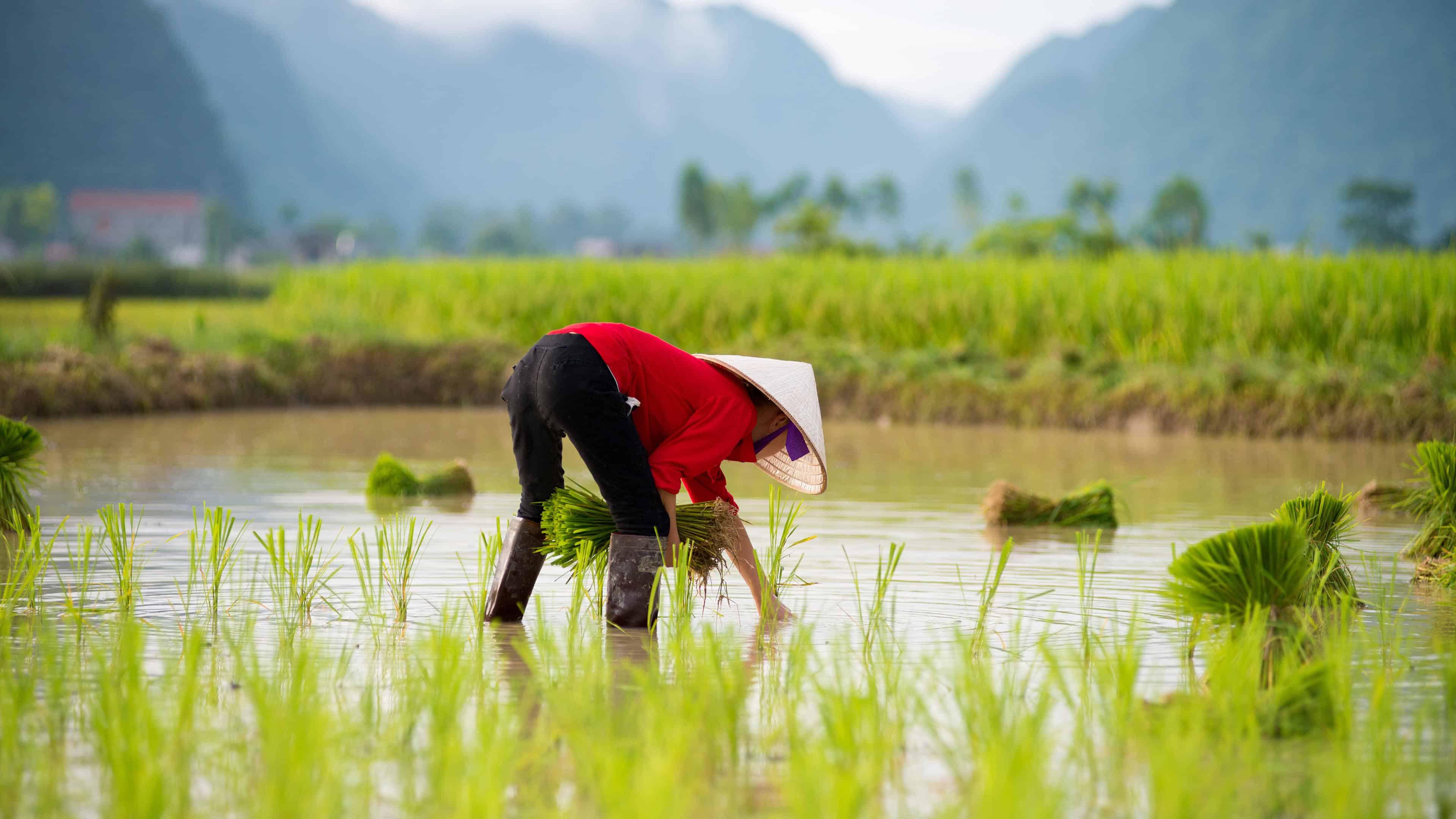 Rice Farmer Vietnam Uhd 4k Wallpaper Pixelz