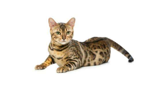 bengal cat uhd 4k wallpaper