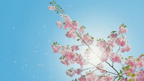 cherry blossoms uhd 4k wallpaper