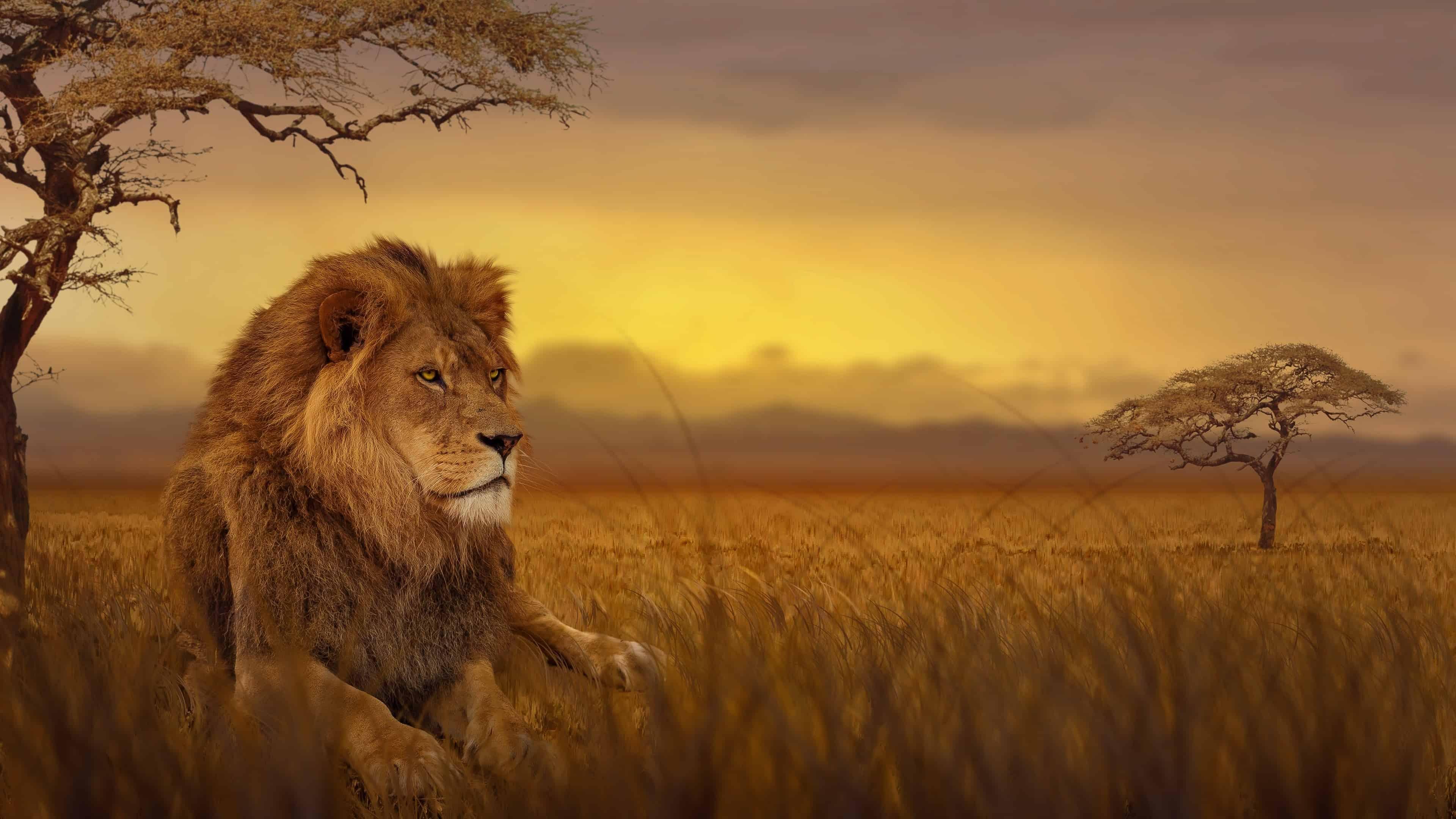 lion african savannah uhd 4k wallpaper