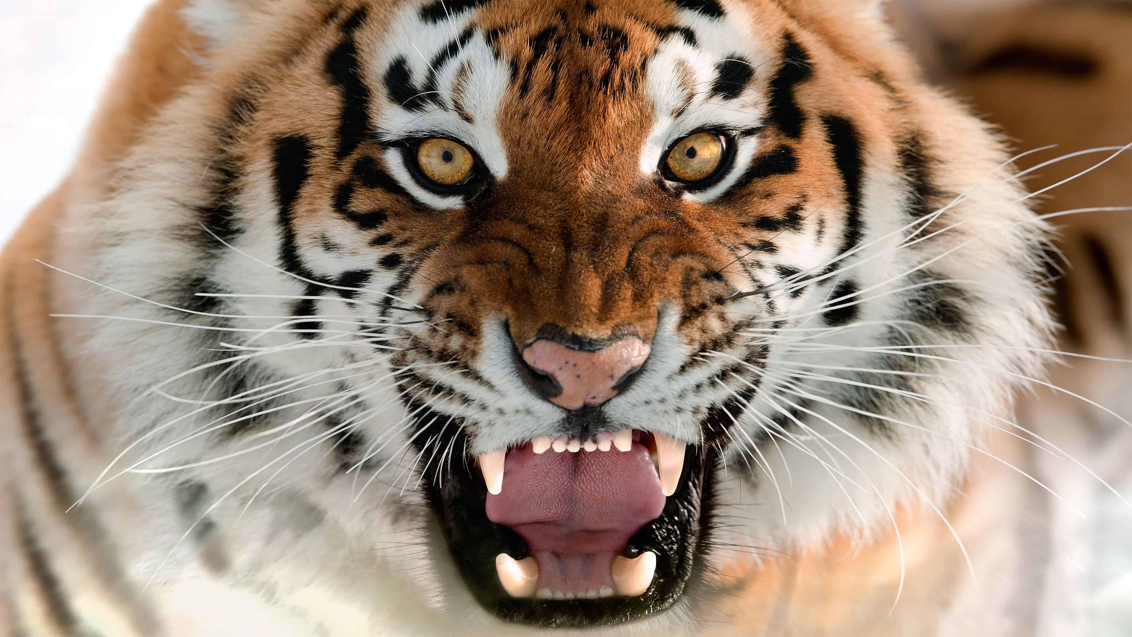 orange tiger uhd 4k wallpaper