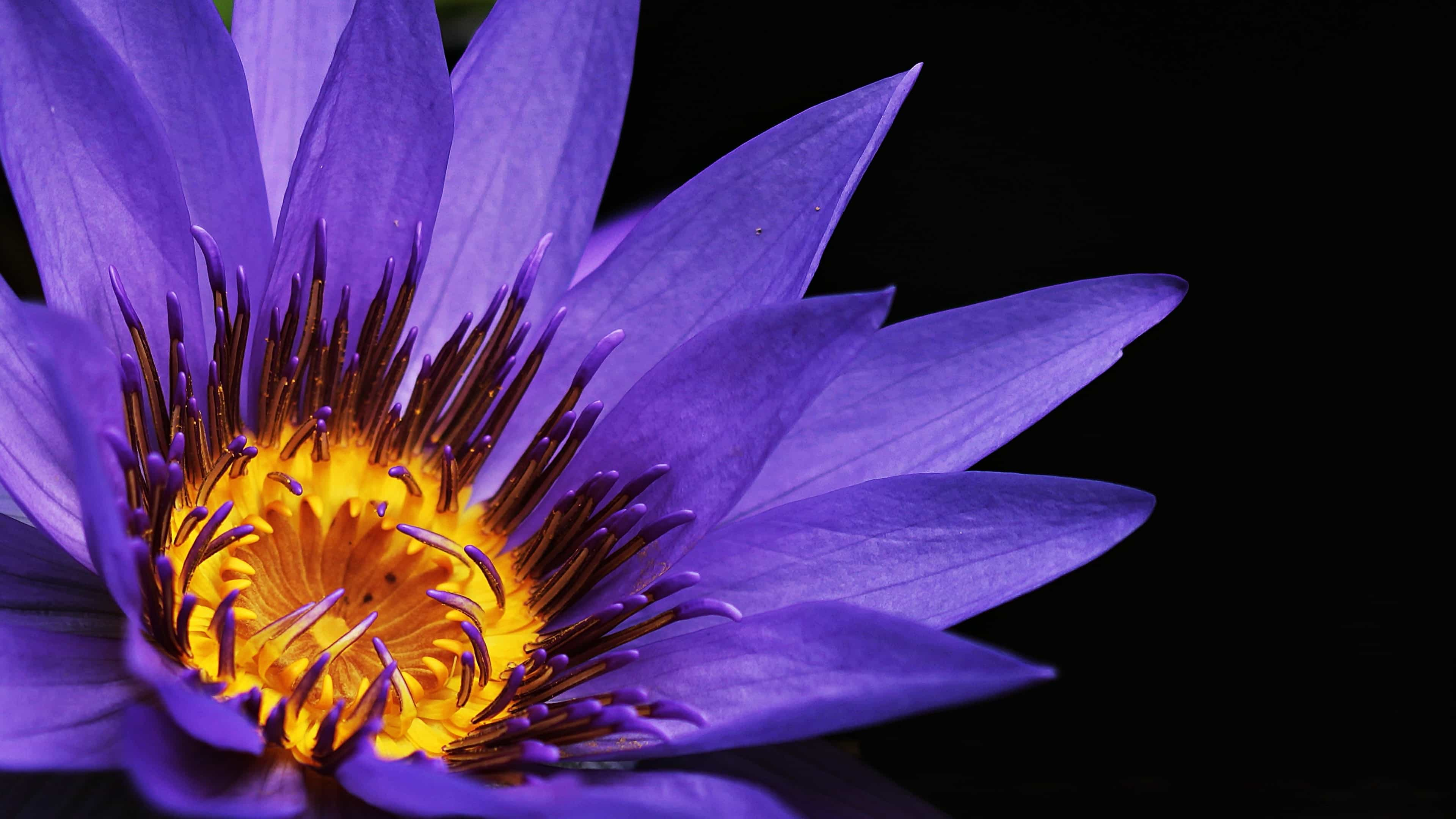 purple water lily uhd 4k wallpaper