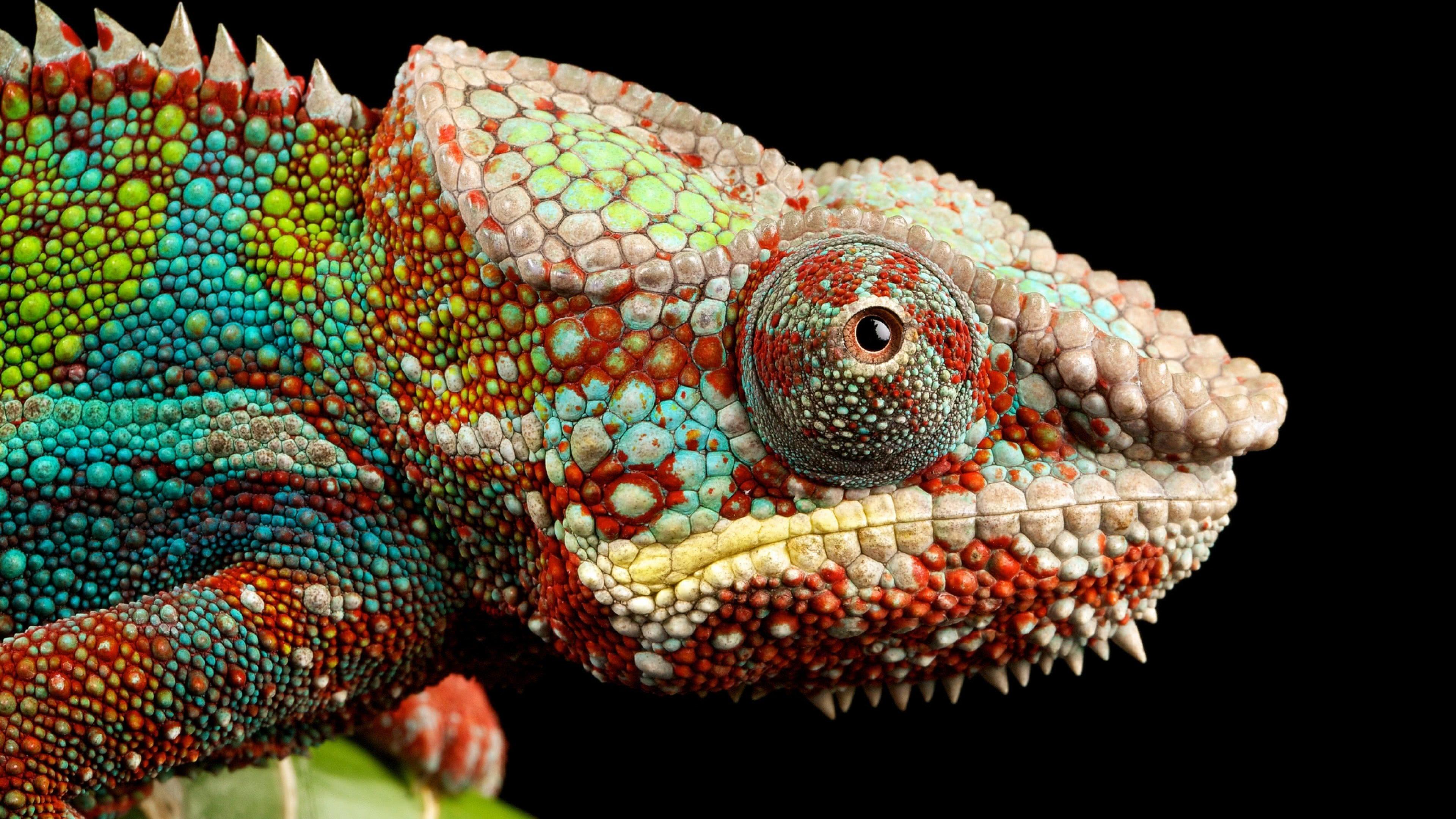 chameleon uhd 4k wallpaper