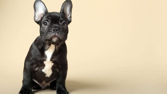french bulldog uhd 4k wallpaper