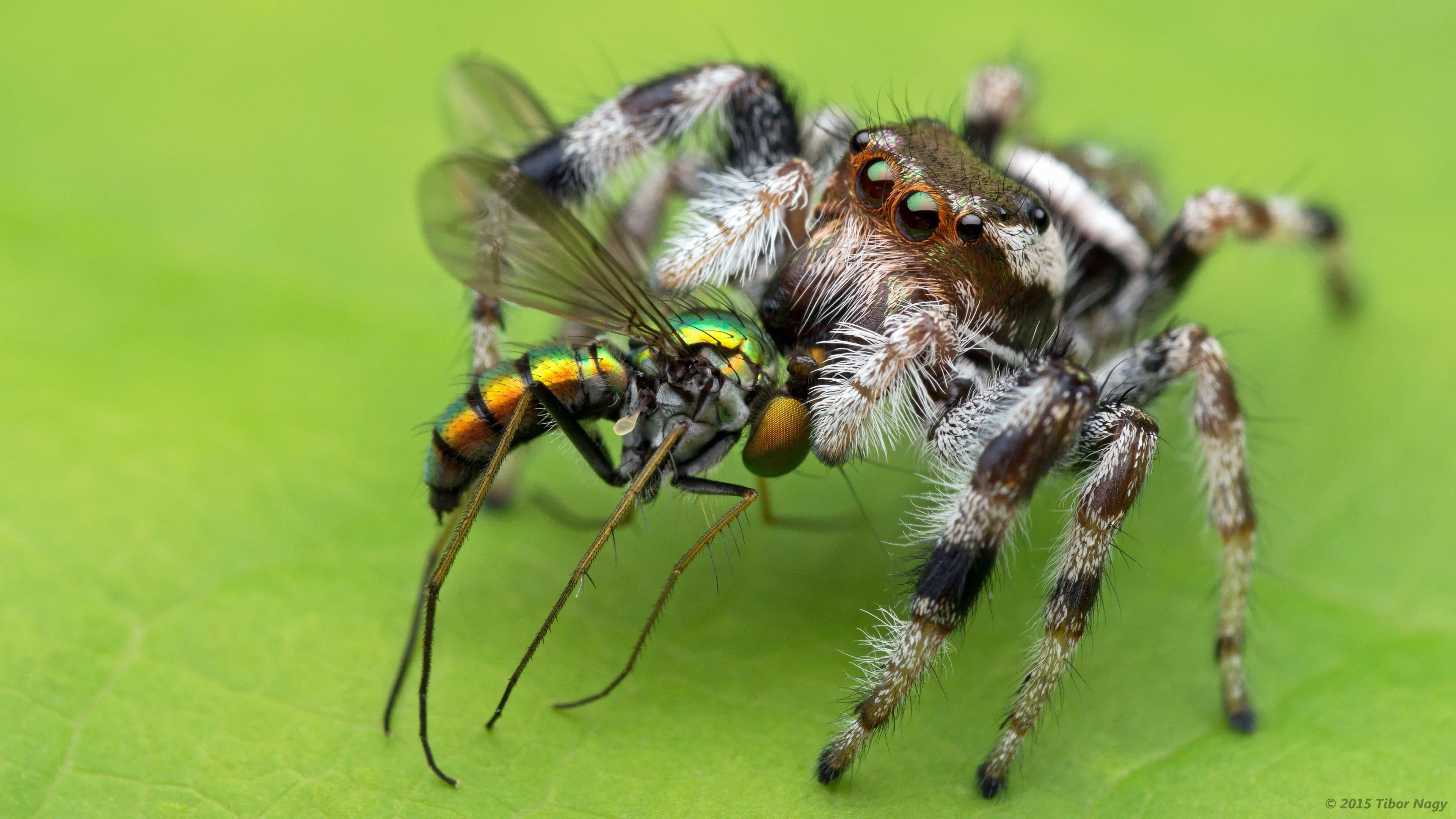 jumping spider uhd 4k wallpaper