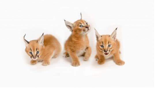 lynx kittens wqhd 1440p wallpaper