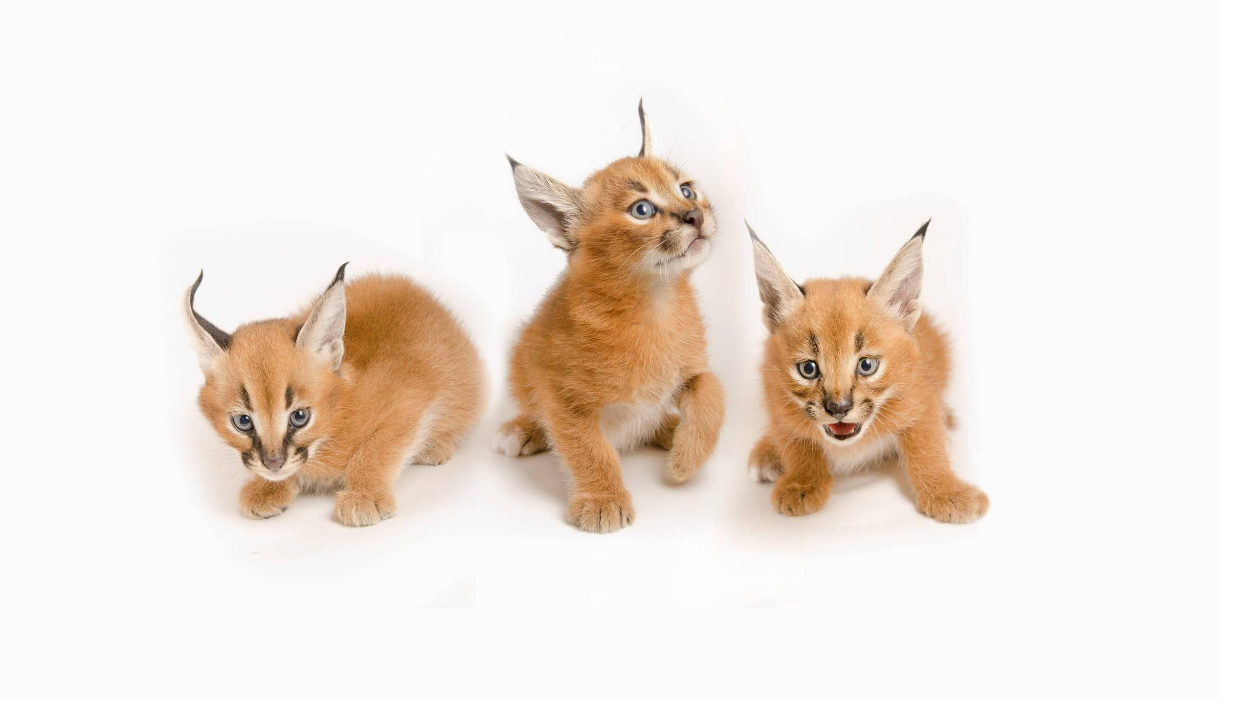 lynx kittens wqhd 1440p wallpaper
