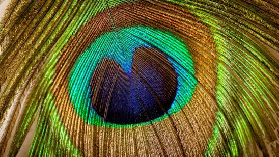 peacock feather uhd 4k wallpaper