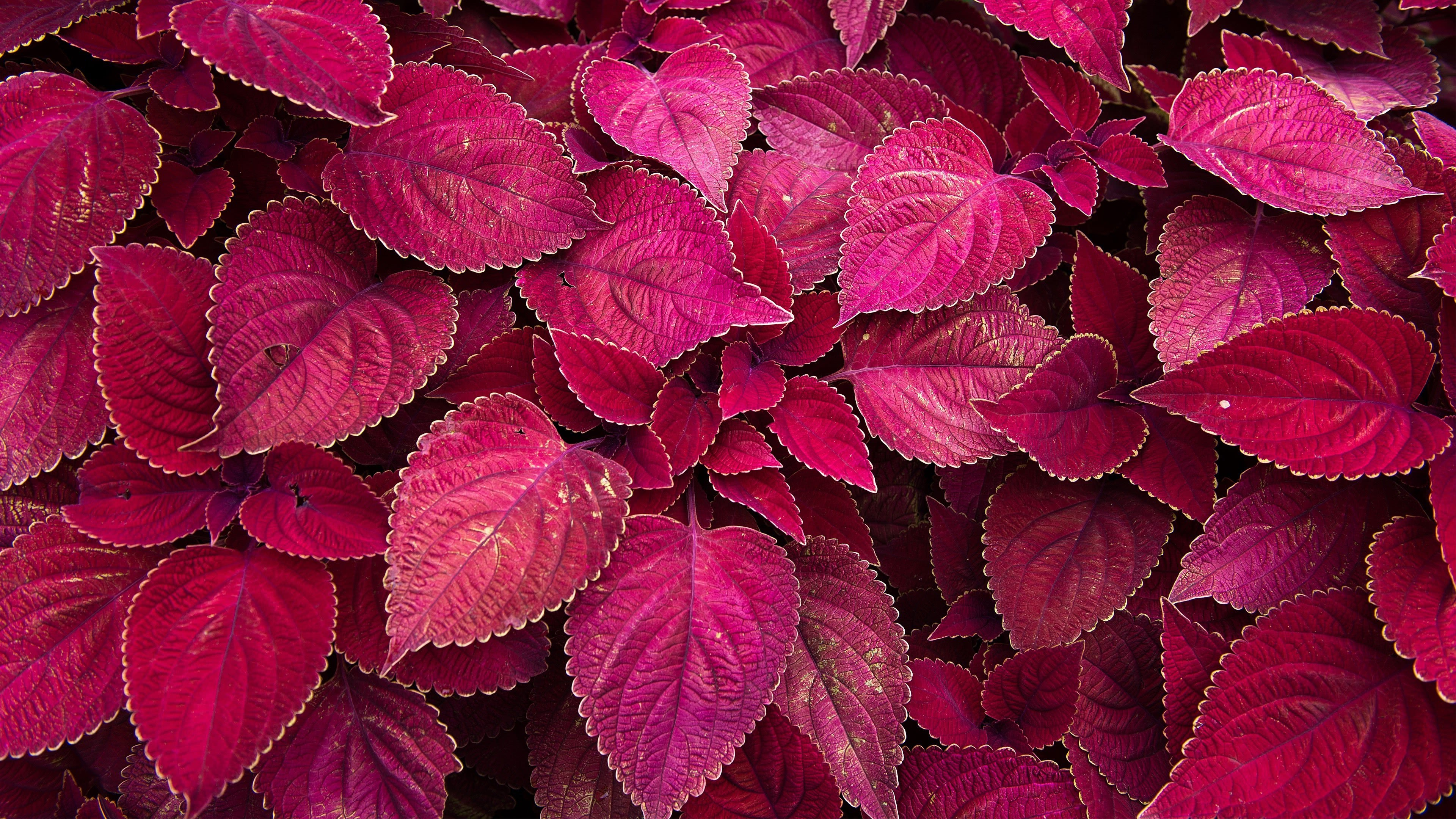 perilla leaves maroon uhd 4k wallpaper