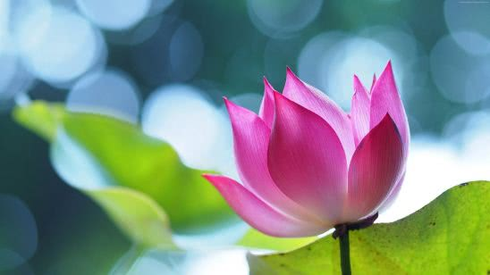 pink lotus flower uhd 4k wallpaper