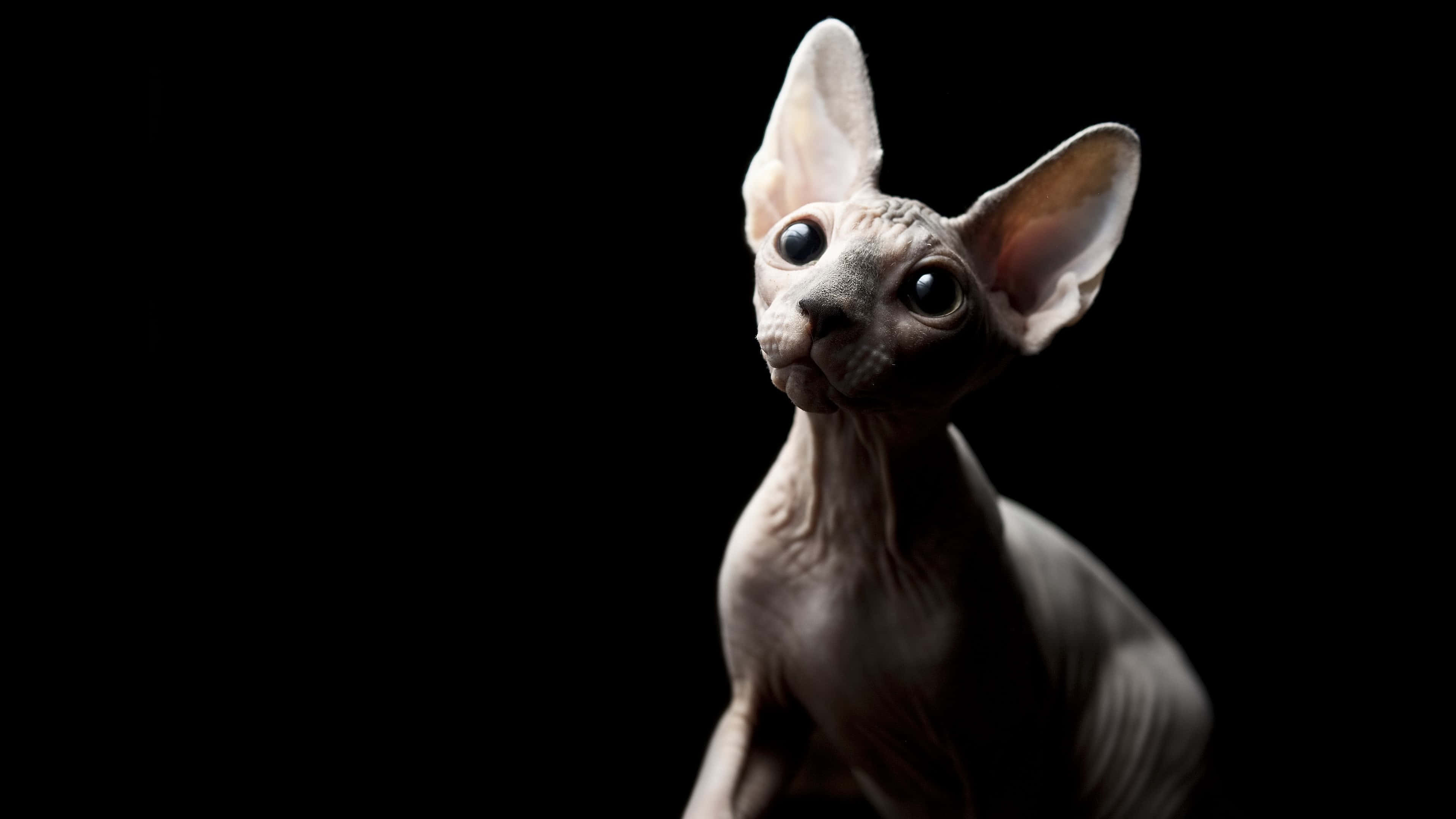 sphynx cat uhd 4k wallpaper