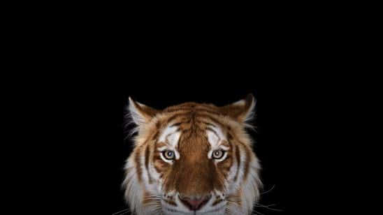 tiger portrait wqhd 1440p wallpaper