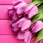 tulips pink uhd 4k wallpaper