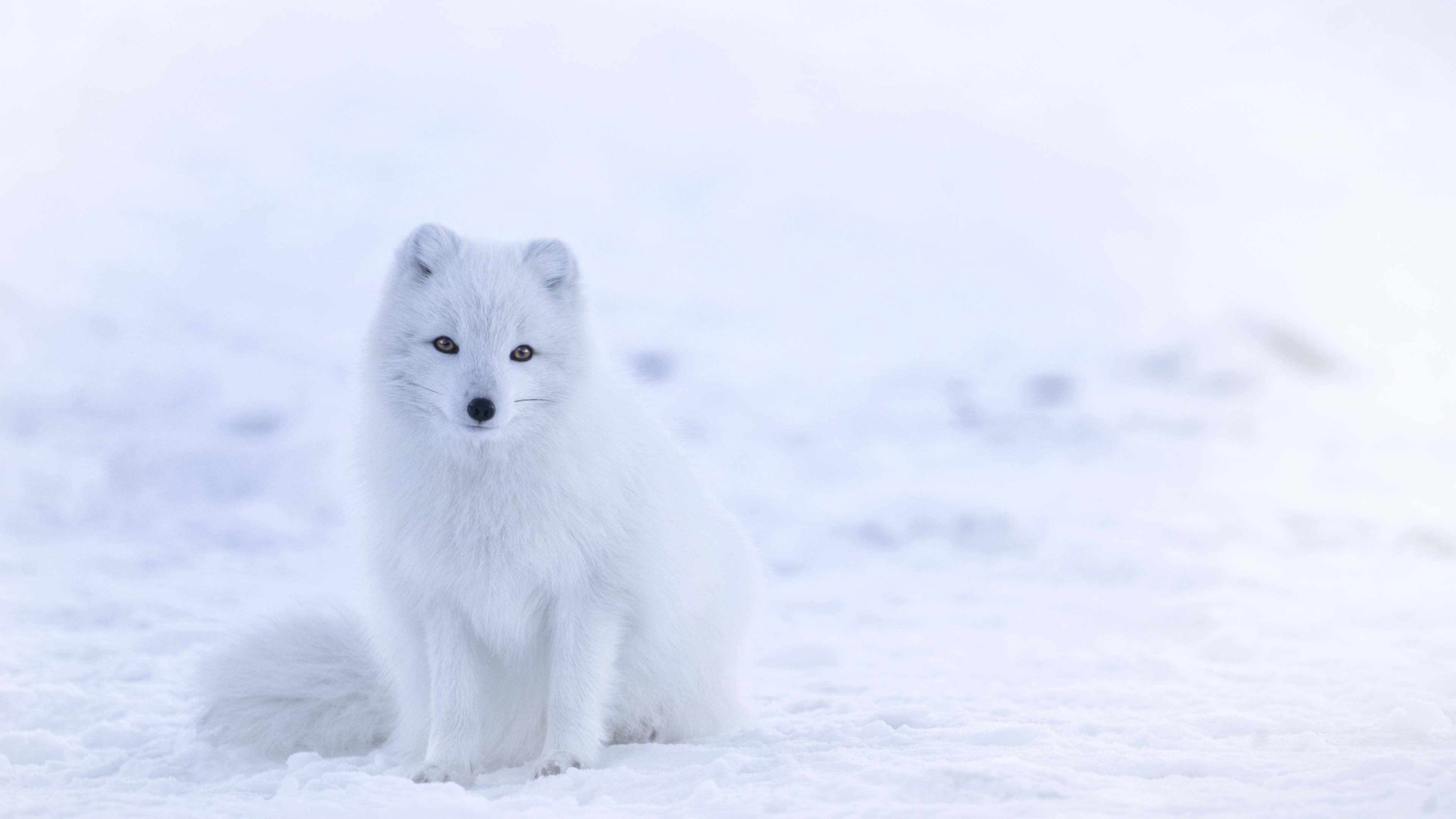 arctic fox iceland uhd 4k wallpaper