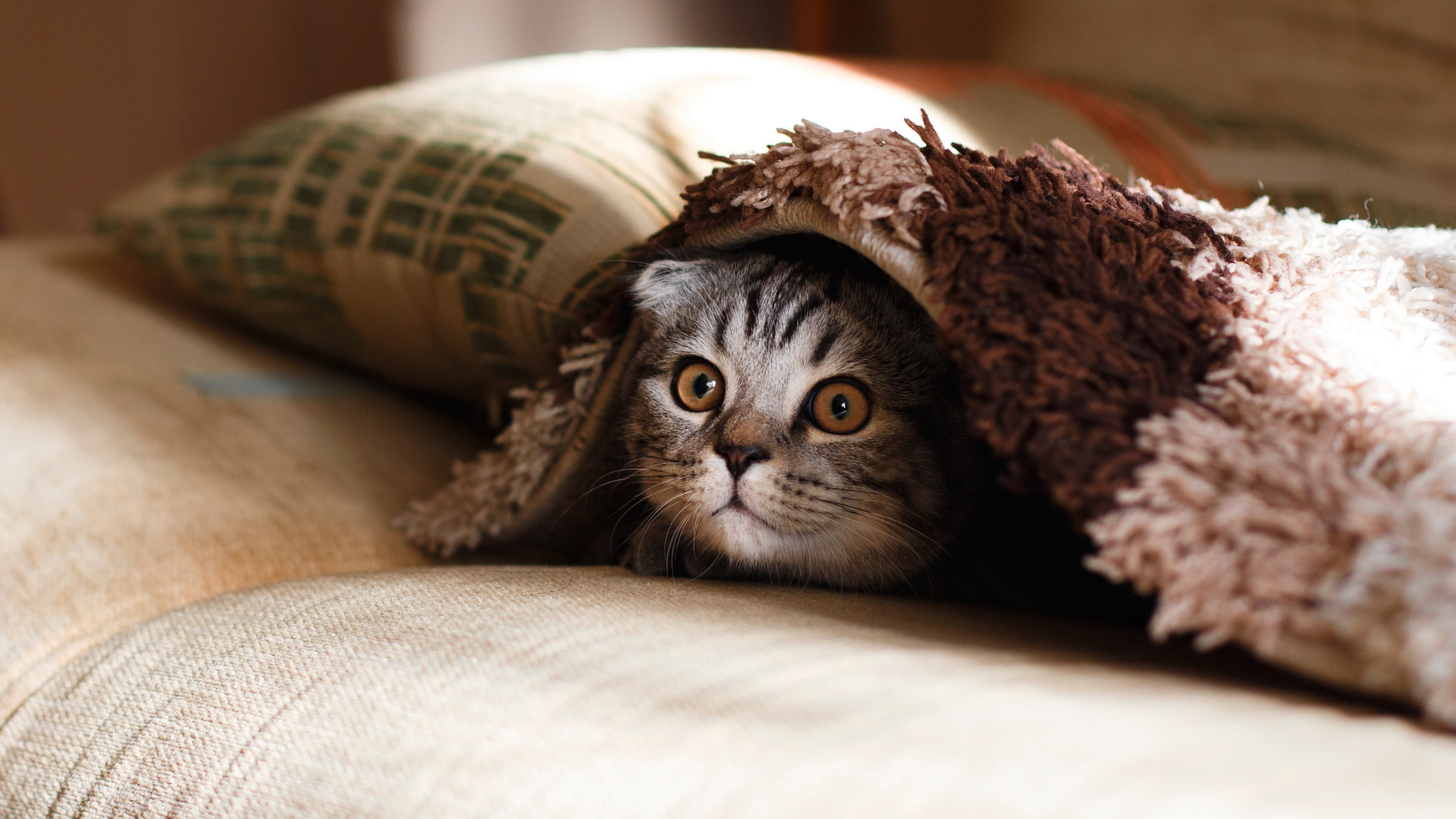 cat under blanket uhd 4k wallpaper